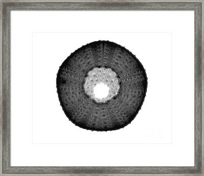 X-ray Of Sea Urchin Framed Print by Bert Myers