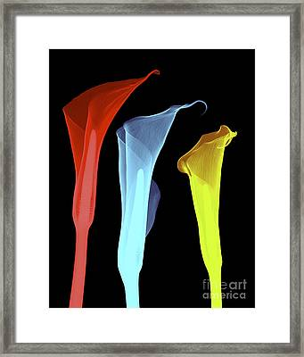 X-ray Of Three Lilies Framed Print by Bert Myers