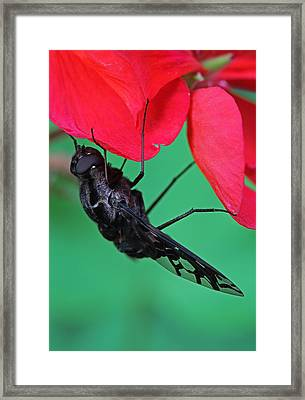 Xenox Tigrinus Framed Print by Juergen Roth
