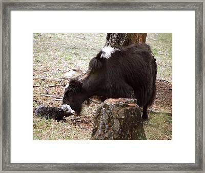 Yak And Calf Framed Print by Science Photo Library