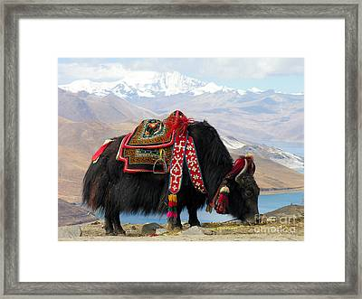 Yak Near Yamdrok Lake Tibet Framed Print by Paul Fearn
