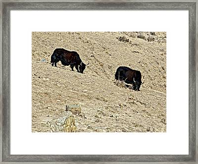 Yaks In Himalayas Along Friendship Highway-tibet   Framed Print by Ruth Hager
