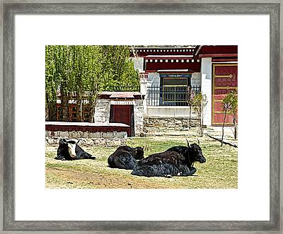 Yaks On Grounds Of Sera Monastery In Lhasa-tibet  Framed Print by Ruth Hager