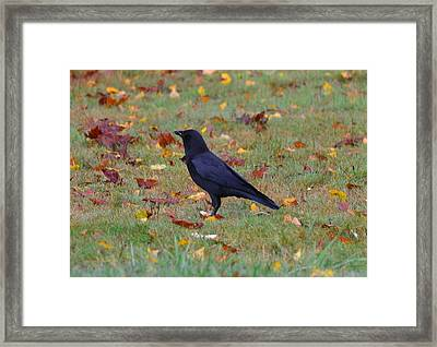 Yard Crow Framed Print by Jeri lyn Chevalier