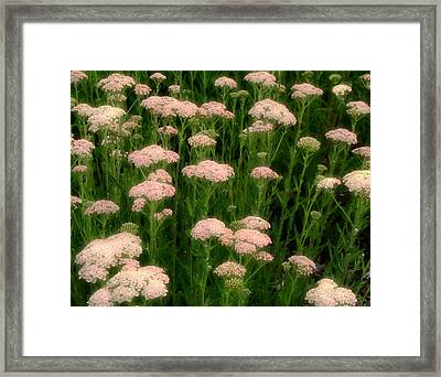 Yarrow Field Framed Print by Gothicrow Images