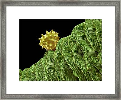 Yarrow Pollen Grain Framed Print