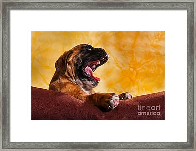 yawning Boxer dog puppy Framed Print by Doreen Zorn