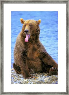 Yawning Grizzly Bear Sitting By Waters Framed Print by Thomas Kitchin & Victoria Hurst