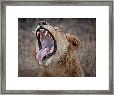 Yawning Lion Framed Print by Craig Brown