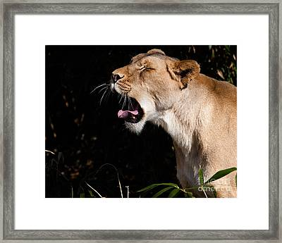 Yawning Lion Framed Print by Dale Nelson