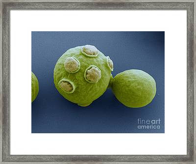 Yeast Cells Sem Framed Print by Eye of Science