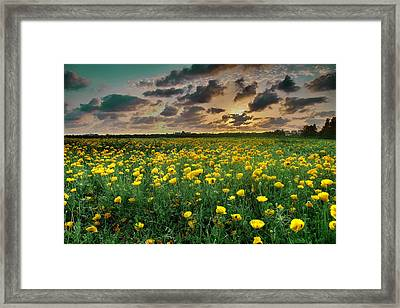 Framed Print featuring the photograph Yello Poppies by Meir Ezrachi