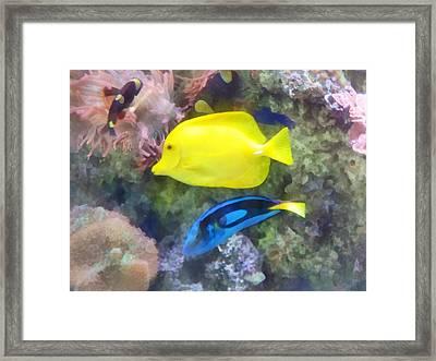 Yellow And Blue Tang Fish Framed Print by Susan Savad