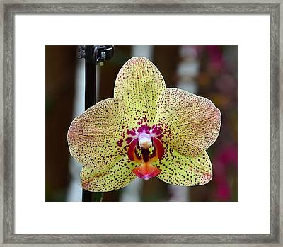 Yellow And Maroon Orchid Framed Print