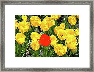 Yellow And One Red Tulip Framed Print