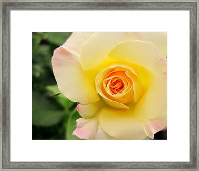 Yellow And Pink Beauty  Framed Print