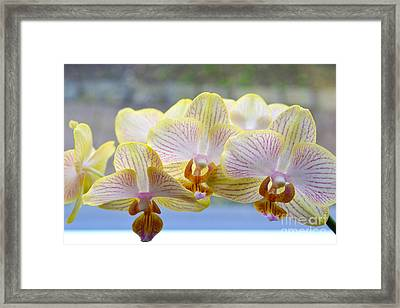Yellow And Pink Orchids Framed Print by Tine Nordbred