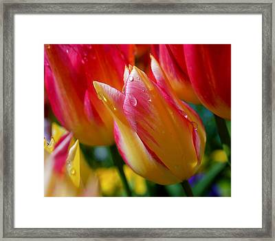Yellow And Pink Tulips Framed Print by Rona Black