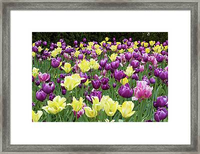 Yellow And Purple Tulips Blooming Framed Print