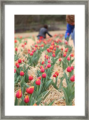 Yellow And Red Tulip - 01133 Framed Print