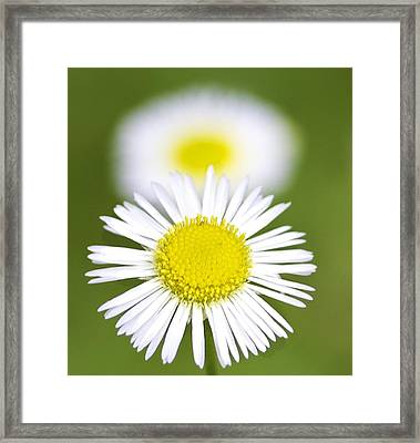 Yellow And White Daisy Framed Print