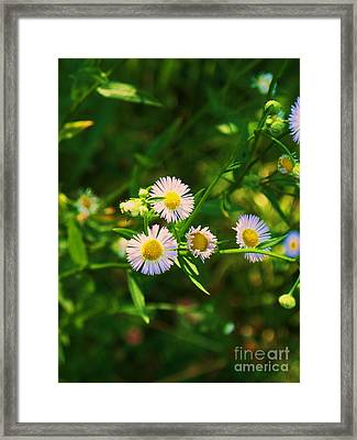 Yellow And White Dasies Framed Print by Eric  Schiabor