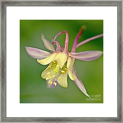 Yellow Aquilegia Bloom Framed Print by Heiko Koehrer-Wagner