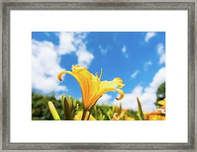 Yellow Aster Flower Framed Print by Wladimir Bulgar