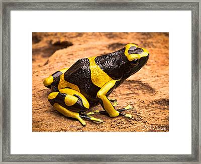 Yellow Banded Poison Arrow Frog Framed Print by Dirk Ercken