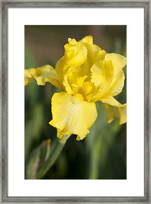 Yellow Beard Framed Print by Christopher McPhail