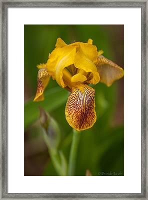 Yellow Bearded Iris Framed Print