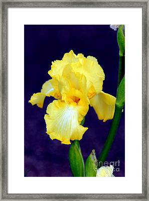 Yellow Bearded Iris Framed Print by Kathy  White