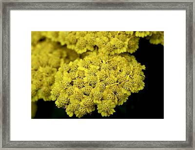 Yellow Beauties Framed Print by John Holloway