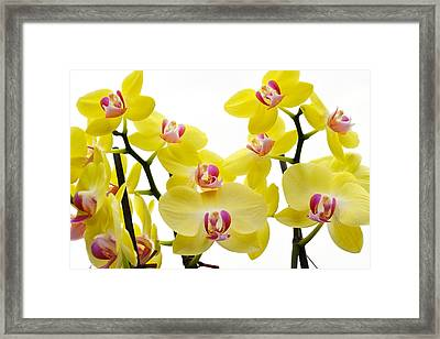 Yellow Beauties Framed Print by Tine Nordbred