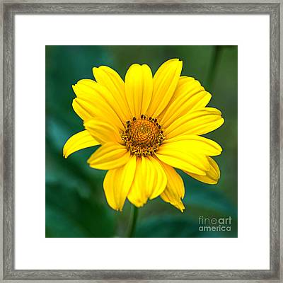 Yellow Beauty Framed Print by Alana Ranney