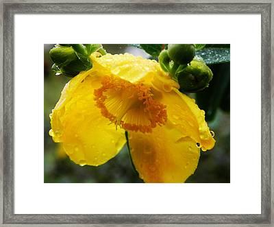 Yellow Beauty Framed Print by Renalda  Cullhaj