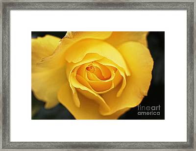 Yellow Beauty Rose Framed Print