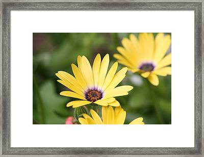 Yellow Beauty Framed Print by Sue Chisholm