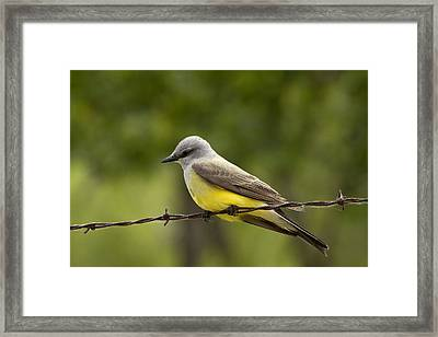 Yellow-bellied Fence-sitter Framed Print