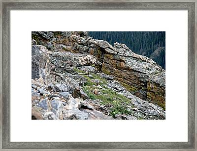 Yellow Bellied Marmot In The Rockies Framed Print by Cecelia Helwig