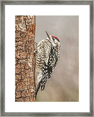 Yellow Bellied Sapsucker Framed Print