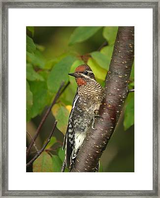 Yellow-bellied Sapsucker Framed Print by James Peterson