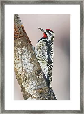 Yellow-bellied Sapsucker (sphyrapicus Framed Print by Larry Ditto