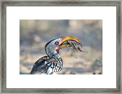 Yellow-billed Hornbill Eating A Cricket Framed Print