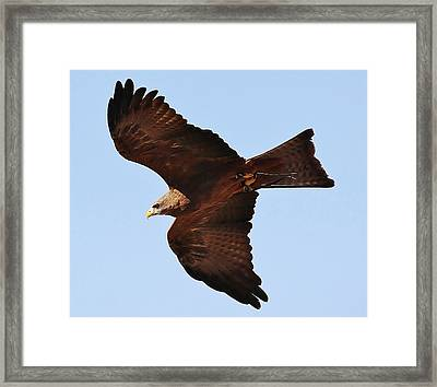 Yellow Billed Kite In Flight Framed Print by Paulette Thomas