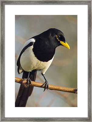Yellow-billed Magpie Framed Print by Doug Herr