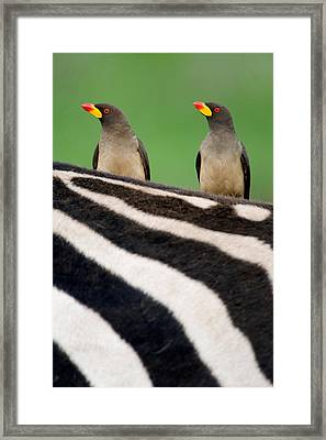Yellow-billed Oxpeckers Buphagus Framed Print by Panoramic Images