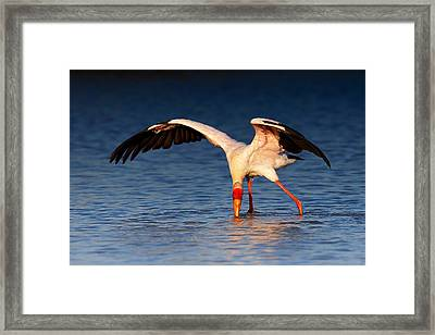 Yellow-billed Stork Hunting For Food Framed Print