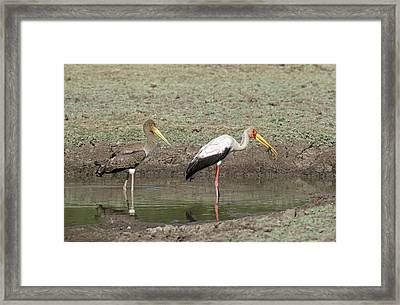 Yellow-billed Stork Juvenile With Adult Framed Print by Tony Camacho