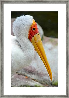 Yellow Billed Stork Framed Print by Richard Bryce and Family